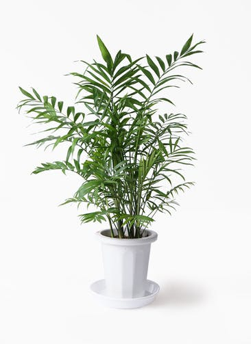 観葉植物 テーブルヤシ 7号 プラスチック鉢