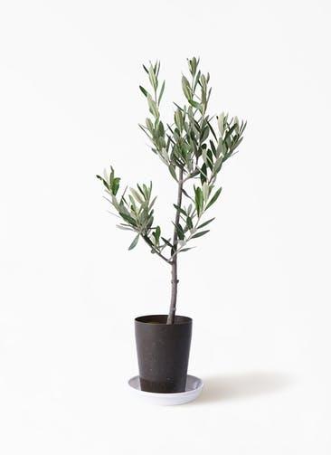 観葉植物 オリーブの木 3号 創樹 プラスチック鉢