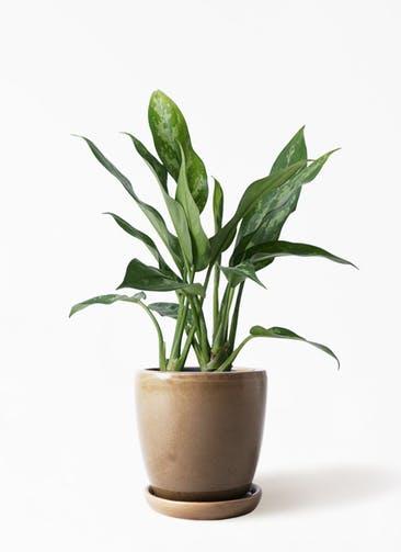 観葉植物 アグラオネマ 4号 アステア トール ブラウン 付き