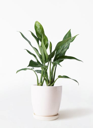 観葉植物 アグラオネマ 4号 アステア トール ホワイト 付き