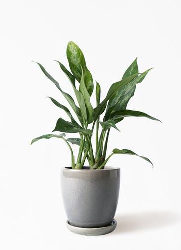 観葉植物 アグラオネマ 4号 アステア トール ライトグレー 付き