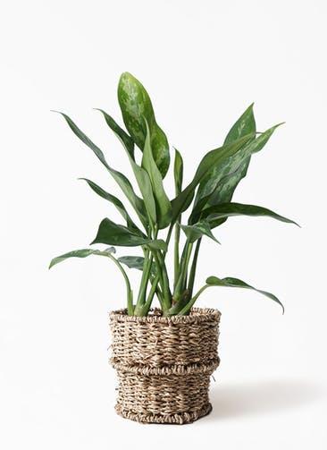 観葉植物 アグラオネマ 4号 バスケット 付き