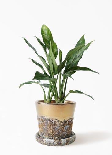 観葉植物 アグラオネマ 4号 ハレー ブロンズ 付き