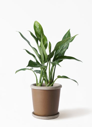 観葉植物 アグラオネマ 4号 キャメルポット ブラウン 付き