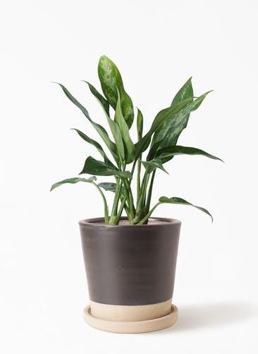 観葉植物 アグラオネマ 4号 マット グレーズ テラコッタ ブラック 付き