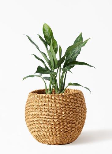 観葉植物 アグラオネマ 4号 アバカバスケット タン 付き