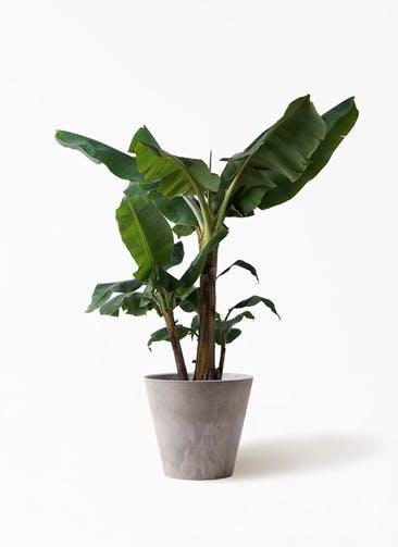 観葉植物 三尺バナナ 10号 アートストーン ラウンド グレー 付き