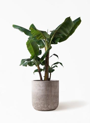 観葉植物 三尺バナナ 10号 エルバ 白 付き