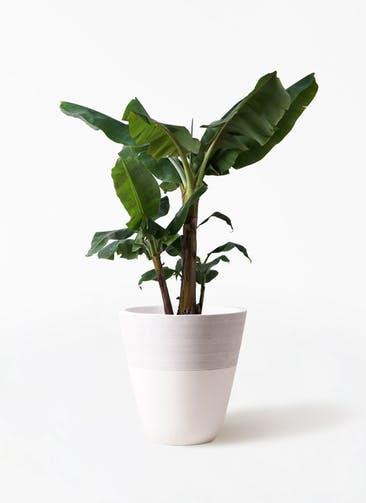 観葉植物 三尺バナナ 10号 ジュピター 白 付き