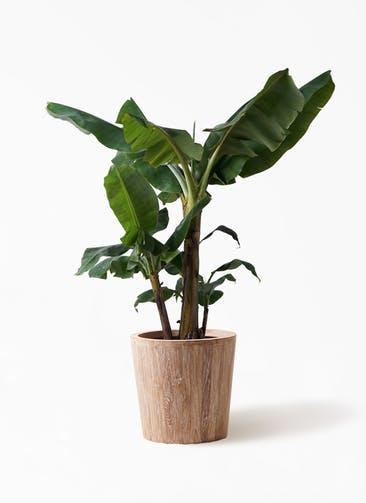 観葉植物 三尺バナナ 10号 ウッドプランター 付き