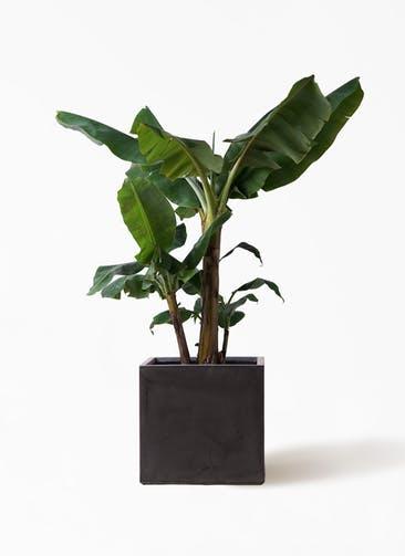 観葉植物 三尺バナナ 10号 ファイバークレイ キューブ 付き