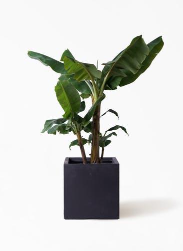 観葉植物 三尺バナナ 10号 ベータ キューブプランター 黒 付き