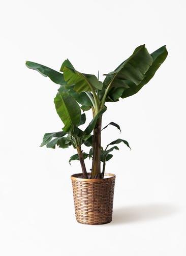 観葉植物 三尺バナナ 10号 竹バスケット 付き