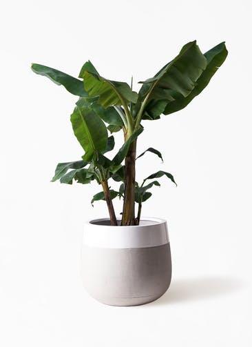 観葉植物 三尺バナナ 10号 ファイバーストーンタウルス ミドル 白 付き