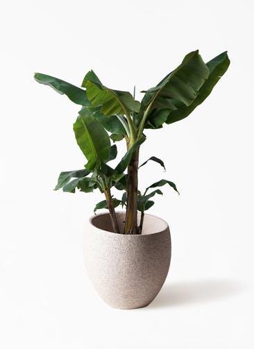 観葉植物 三尺バナナ 10号 エコストーンLight Gray 付き