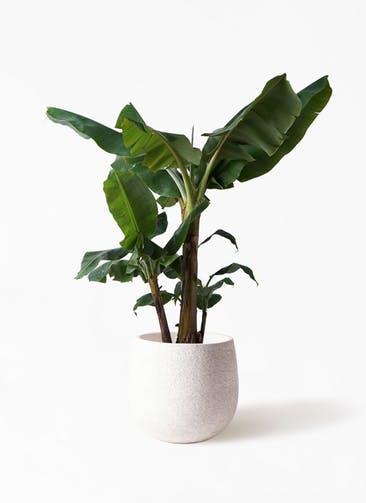 観葉植物 三尺バナナ 10号 エコストーンwhite 付き