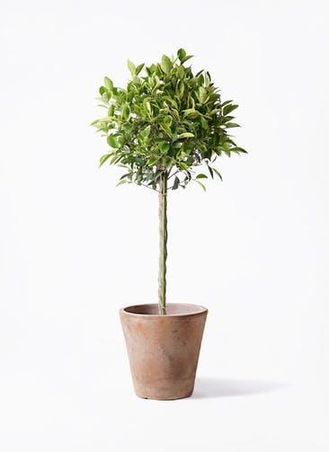 観葉植物 フィカス ベンジャミン 8号 ゴールデンスポット ルーガ アンティコ ソリッド 付き