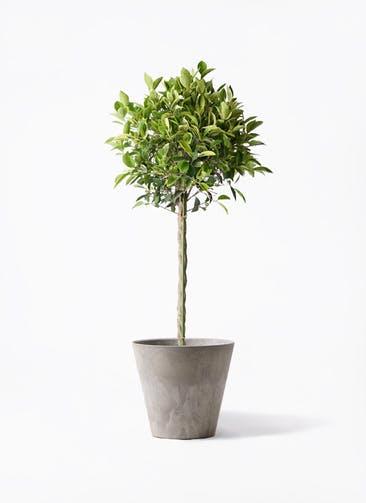 観葉植物 フィカス ベンジャミン 8号 ゴールデンスポット アートストーン ラウンド グレー 付き