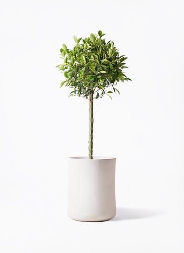 観葉植物 フィカス ベンジャミン 8号 ゴールデンスポット バスク ミドル ホワイト 付き