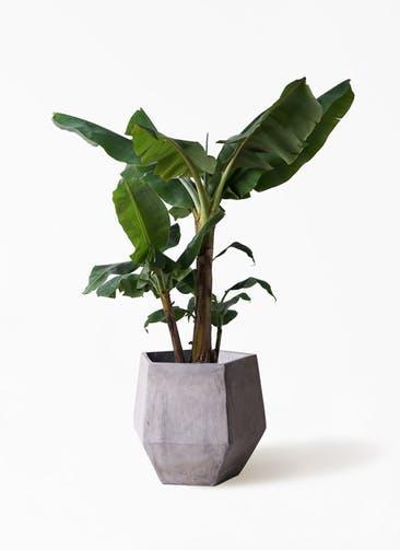 観葉植物 三尺バナナ 10号 ファイバークレイGray 付き