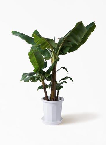 観葉植物 三尺バナナ 10号 プラスチック鉢