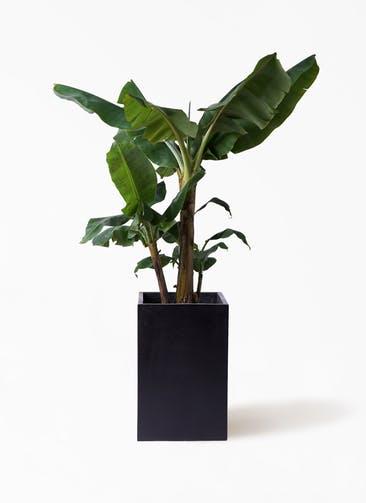 観葉植物 三尺バナナ 10号 セドナロング 墨 付き