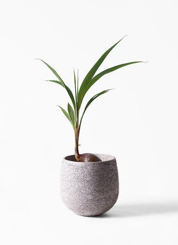 観葉植物 ココヤシ 7号 エコストーンGray 付き