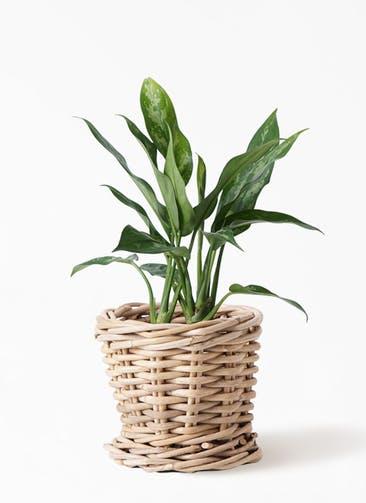 観葉植物 アグラオネマ 4号 グレイラタン 付き