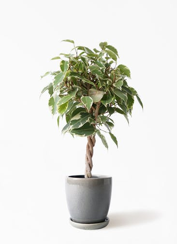 観葉植物 フィカス ベンジャミン 4号 プリンセス アステア トール ライトグレー 付き