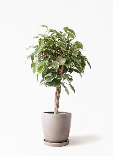 観葉植物 フィカス ベンジャミン 4号 プリンセス アステア トール ベージュ 付き