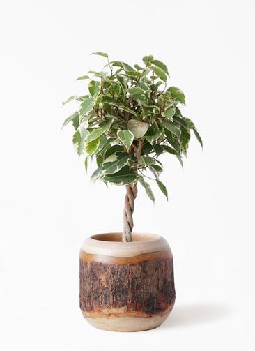 観葉植物 フィカス ベンジャミン 4号 プリンセス マンゴーウッド 付き