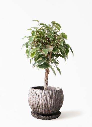 観葉植物 フィカス ベンジャミン 4号 プリンセス ストーン ウェア セラミック 付き
