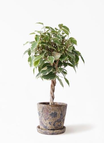 観葉植物 フィカス ベンジャミン 4号 プリンセス ハレー カーキー 付き