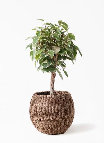 観葉植物 フィカス ベンジャミン 4号 プリンセス アバカバスケット スモーク 付き