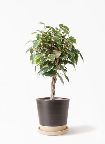 観葉植物 フィカス ベンジャミン 4号 プリンセス マット グレーズ テラコッタ ブラック 付き