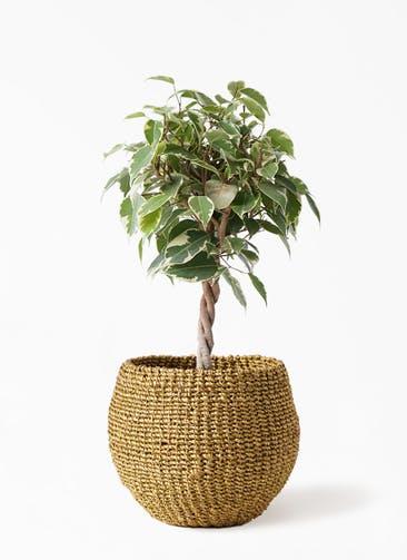 観葉植物 フィカス ベンジャミン 4号 プリンセス アバカバスケット オリーブ 付き
