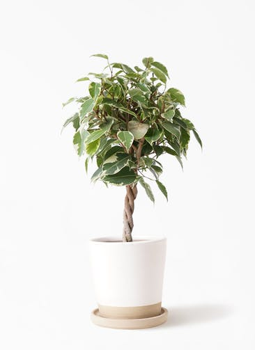 観葉植物 フィカス ベンジャミン 4号 プリンセス マット グレーズ テラコッタ ホワイト 付き