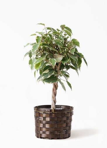 観葉植物 フィカス ベンジャミン 4号 プリンセス 竹バスケット付き