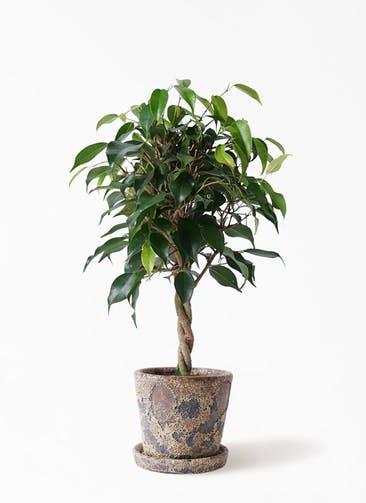 観葉植物 フィカス ベンジャミン 4号 玉造り ハレー カーキー 付き
