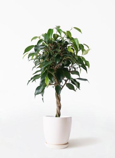 観葉植物 フィカス ベンジャミン 4号 玉造り アステア トール ホワイト 付き