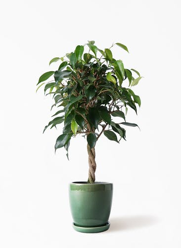 観葉植物 フィカス ベンジャミン 4号 玉造り アステア トール グリーン 付き