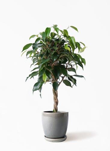 観葉植物 フィカス ベンジャミン 4号 玉造り アステア トール ライトグレー 付き