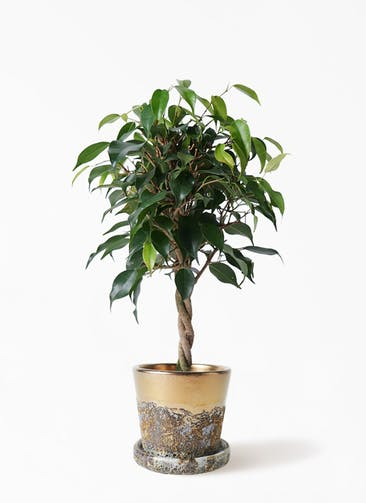 観葉植物 フィカス ベンジャミン 4号 玉造り ハレー ブロンズ 付き
