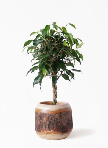観葉植物 フィカス ベンジャミン 4号 玉造り マンゴーウッド 付き