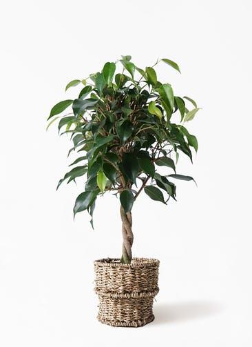 観葉植物 フィカス ベンジャミン 4号 玉造り バスケット 付き