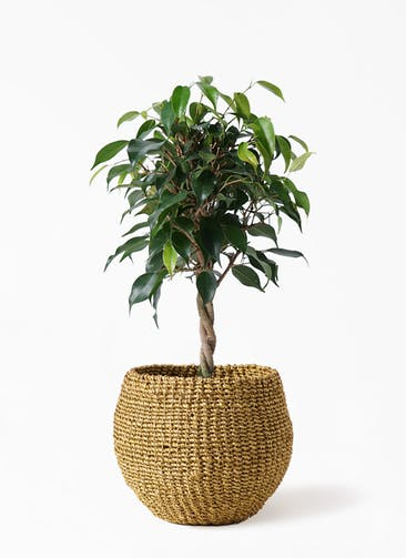 観葉植物 フィカス ベンジャミン 4号 玉造り アバカバスケット オリーブ 付き