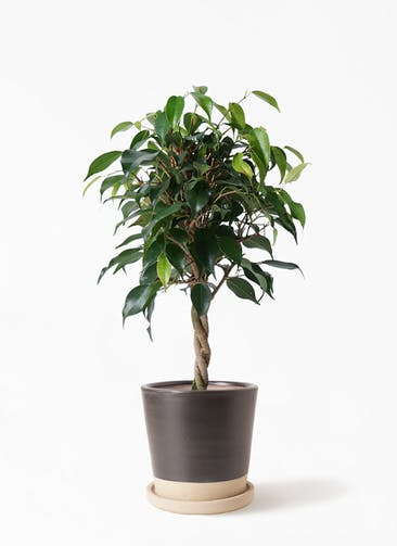 観葉植物 フィカス ベンジャミン 4号 玉造り マット グレーズ テラコッタ ブラック 付き