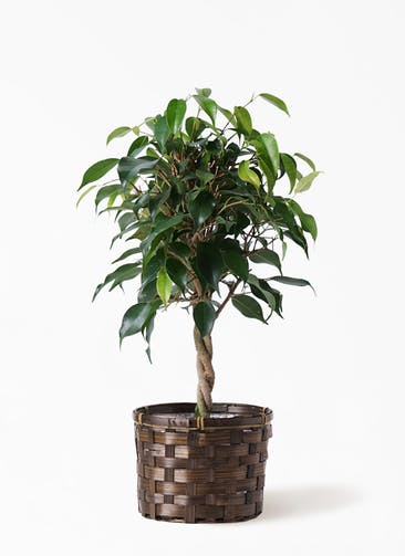 観葉植物 フィカス ベンジャミン 4号 玉造り 竹バスケット付き