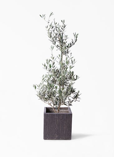 観葉植物 オリーブの木 8号 ピクアル ベータ キューブプランター ウッド 茶 付き
