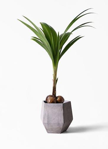 観葉植物 ココヤシ 10号 ファイバークレイGray 付き